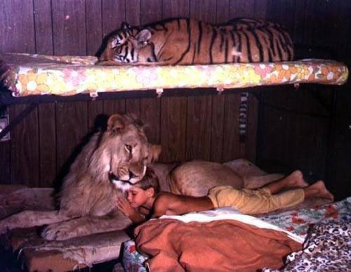 lei tigrii si pantere